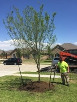 new planted tree in Houston TX
