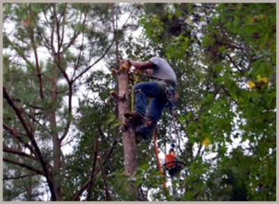 tree trimmer high up in a tree