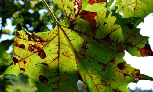 anthracnose leaf